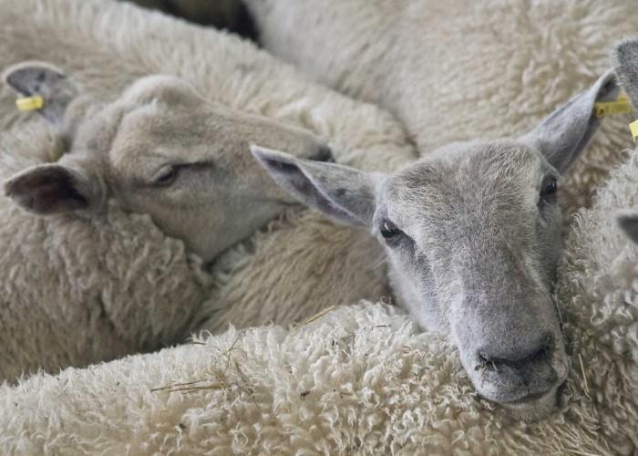 Unsere Wolllieferanten